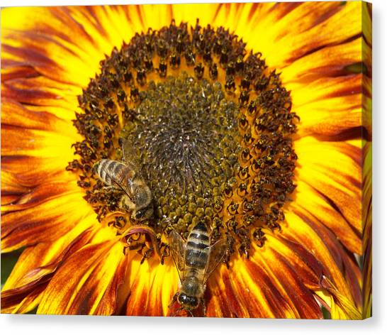 Insects Canvas Print - Sunflower With Bees by Matthias Hauser