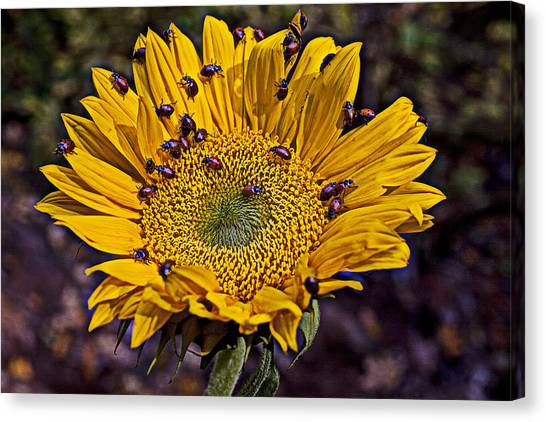 Ladybugs Canvas Print - Sunflower With Ladybugs by Garry Gay