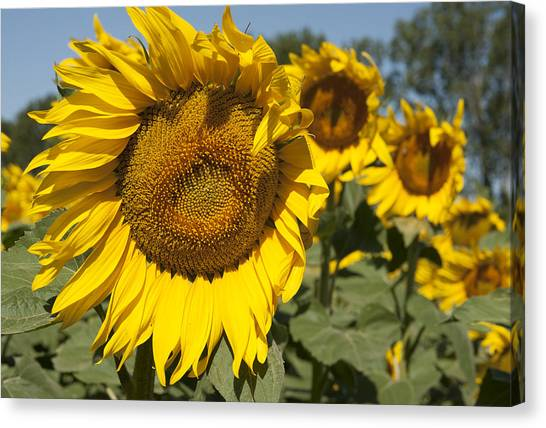 Sunflowers Aglow Canvas Print