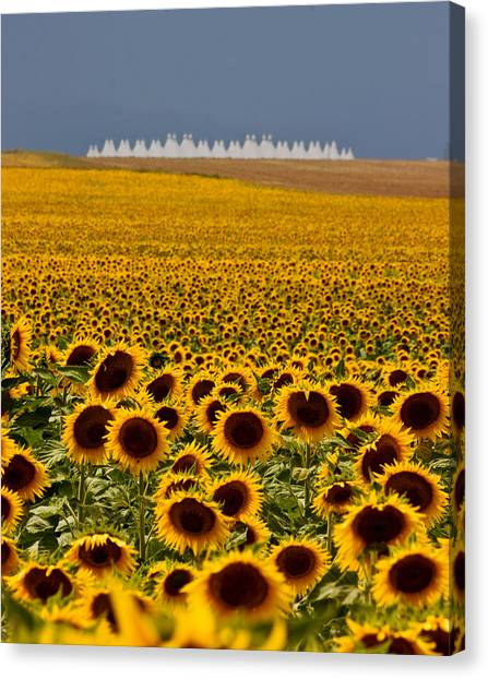 Sunflowers And Airports Canvas Print