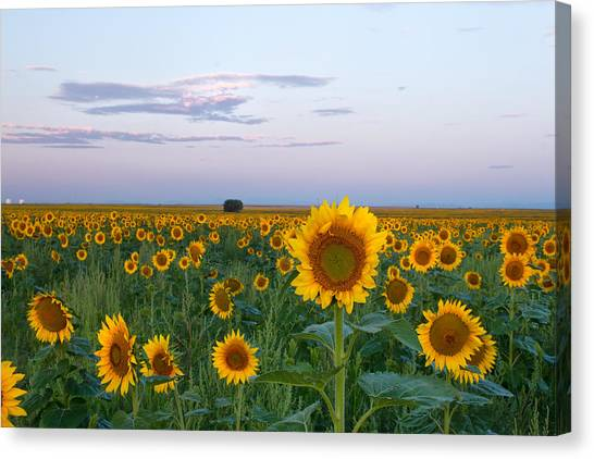 Sunflowers At Sunrise Canvas Print