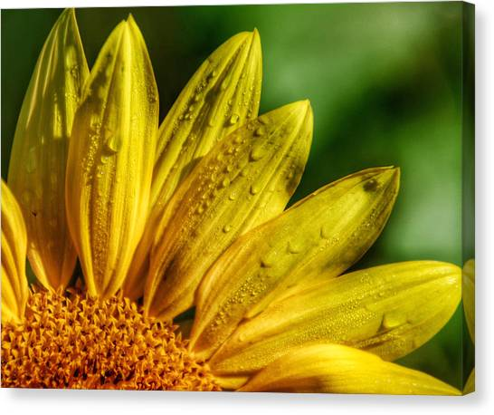 Sunflowers I Canvas Print by Kathi Isserman