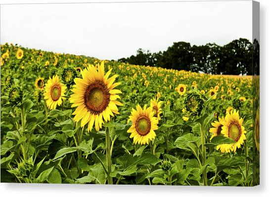 Sunflowers On A Hill Canvas Print