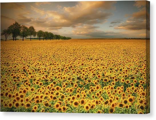 Plantation Canvas Print - Sunflowers by Piotr Krol (bax)