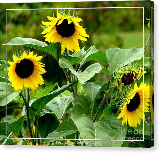 Canvas Print featuring the photograph Sunflowers by Rose Santuci-Sofranko