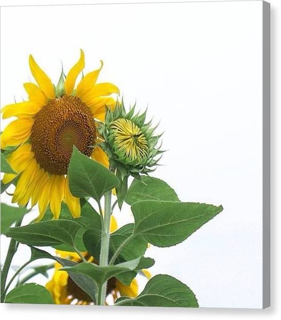 Gardens Canvas Print - Sunflowers! See Full Gallery: by Amber Flowers