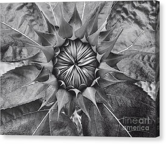 Sunflower's Shades Of Grey Canvas Print