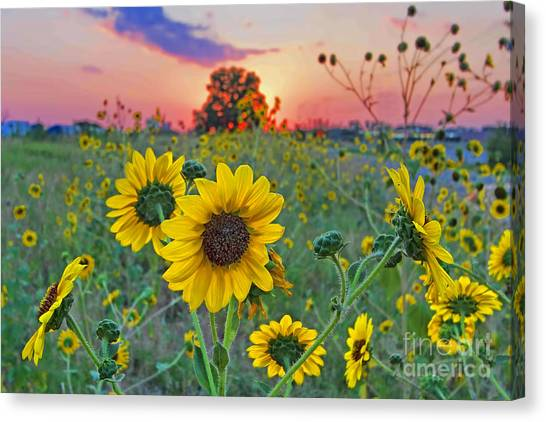 Sunflowers Sunset Canvas Print