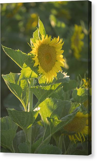 Sunlight And Sunflower 3 Canvas Print