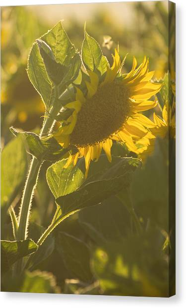 Sunlight And Sunflower Canvas Print