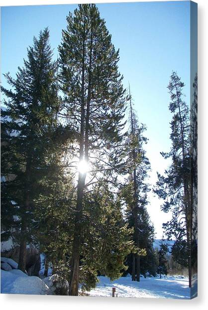 Sunlight Through A Tree Canvas Print