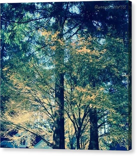 Sunny Canvas Print - Sunlight Through Vine Maples by Anna Porter