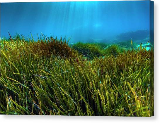 Seagrass Canvas Print - Sunlit Neptune Grass (posidonia Oceanica) by Alexis Rosenfeld/science Photo Library