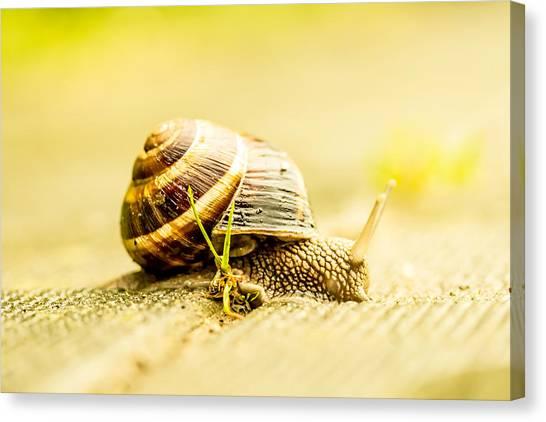 Sunny Snail Canvas Print by Daniel Daniel
