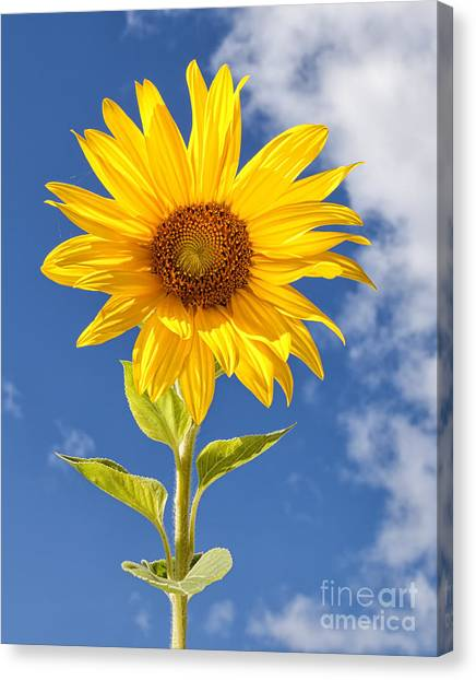 Sunny Sunflower Canvas Print by Joshua Clark