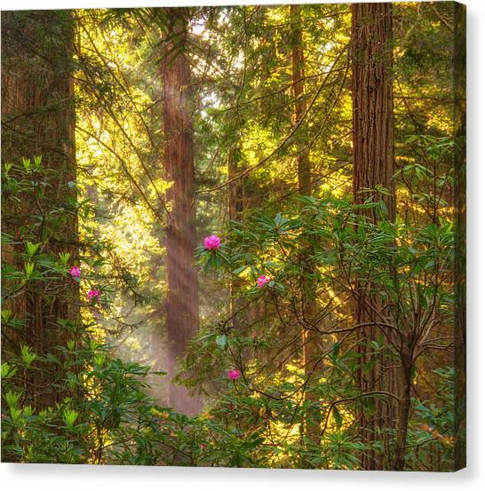 Sunrays Over Redwoods Canvas Print