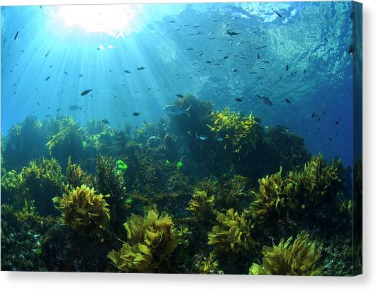 Underwater Caves Canvas Print - Sunrays Shine On Fish And Kelp by James White