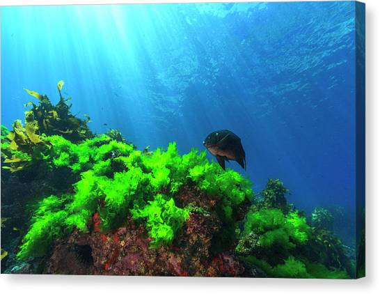 Kelp Forest Canvas Print - Sunrays Shine On Kelp And A Damselfish by James White