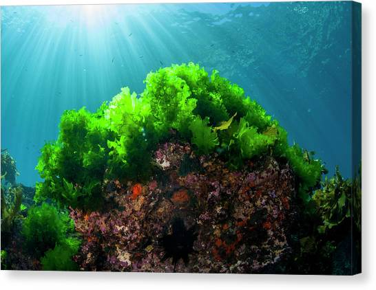 Underwater Caves Canvas Print - Sunrays Shine On Kelp Through Clear by James White