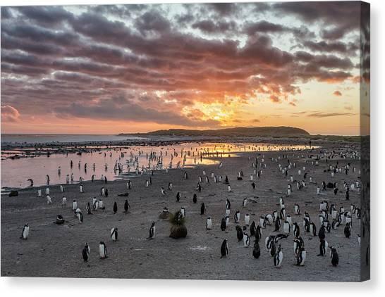 Penguins Canvas Print - Sunrise At Sea Lion by Joan Gil Raga