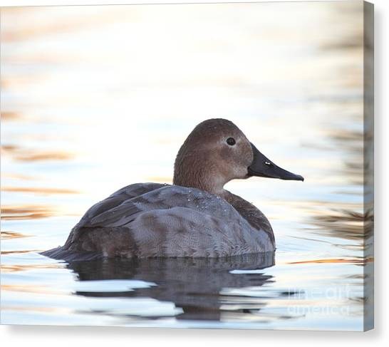 Sunrise Canvasback Canvas Print
