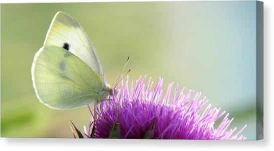 Sunrise In The Thistle Fields Canvas Print
