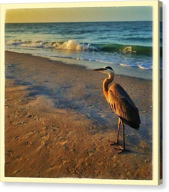 Herons Canvas Print - Sunrise On Sanibel With A Great Blue by Susan Scherr