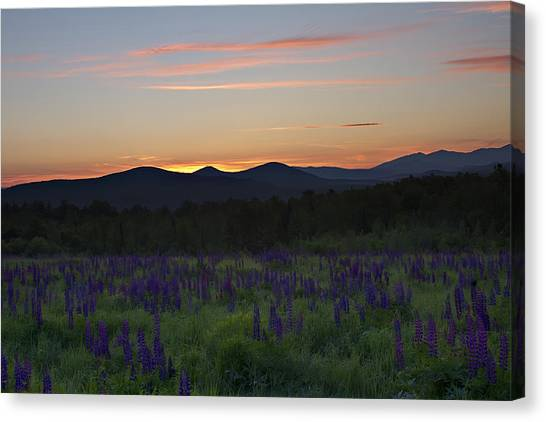 Sunrise Over A Field Of Lupines Canvas Print