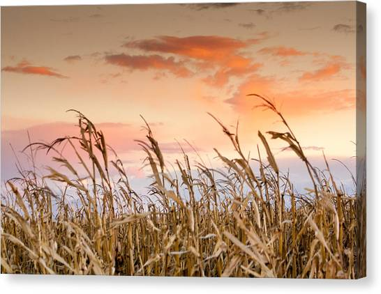 Sunset Against The Cornstalks Canvas Print