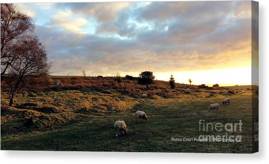 Sunset And Sheep Canvas Print by Merice Ewart