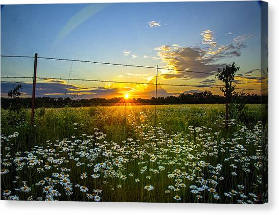 Sunset Daisies Canvas Print