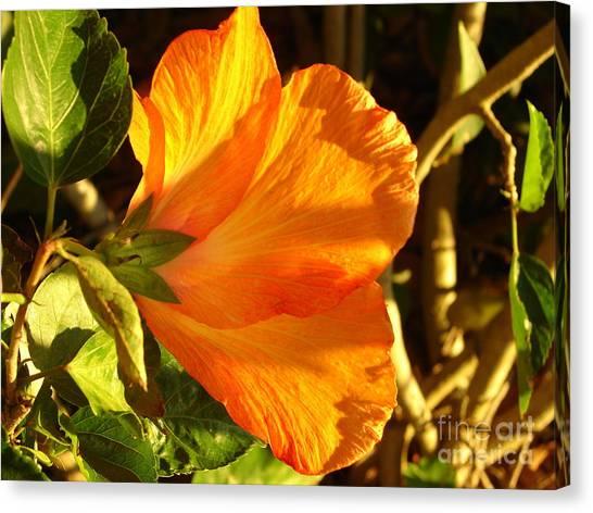 Sunset Hibiscus Canvas Print