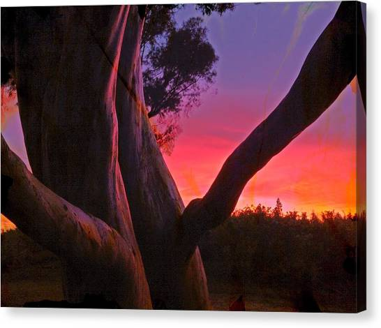 Sunset Madrone 3 Canvas Print