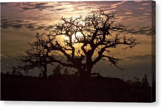 Sunset Oak Canvas Print