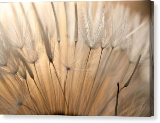 Sunset Seen Through A Dandelion Canvas Print