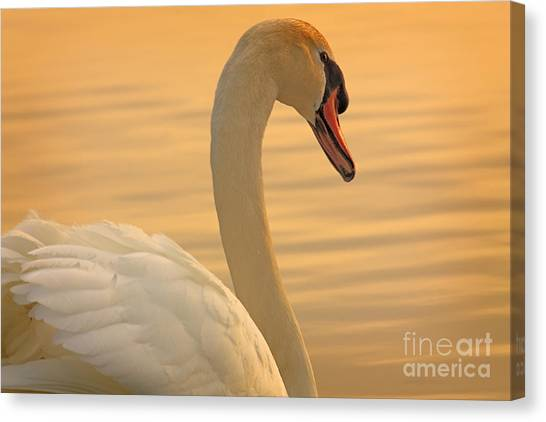 Sunset Swan Canvas Print