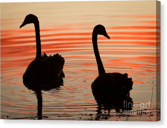 Sunset Swans Canvas Print