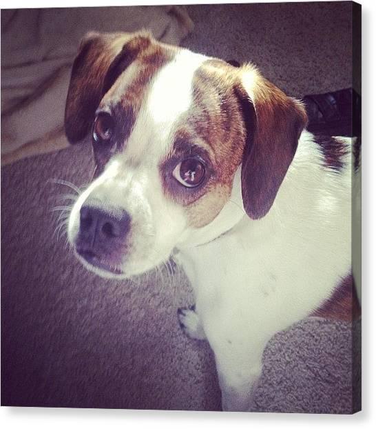 Scouting Canvas Print - Super Dog :) #scout #boglenterrier by Marie Lauten