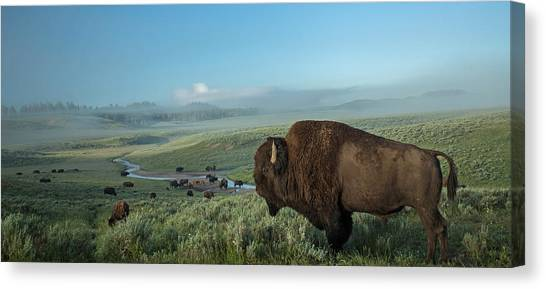 Buffalo Canvas Print - Surveying His Kingdom by Sandy Sisti