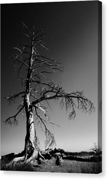 Pine Trees Canvas Print - Survival Tree by Chad Dutson