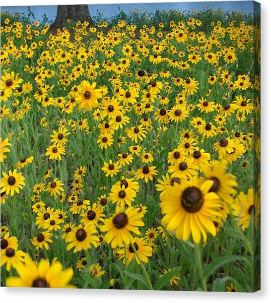 Susans In The Wind Canvas Print