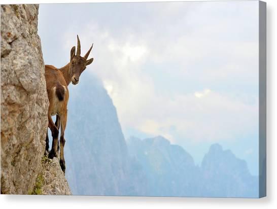Goats Canvas Print - Suspense by Stefano Zocca