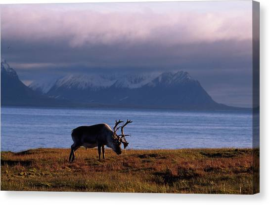 Canvas Print - Svalbard Reindeer Grazing Near The Sea by Norbert Rosing