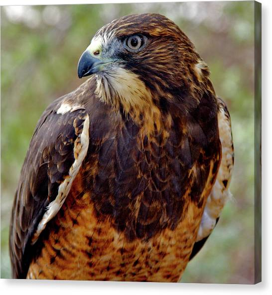 Swainson's Hawk Canvas Print