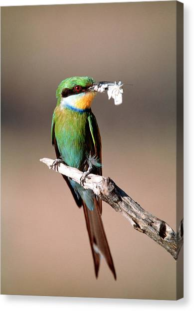 Swallows Canvas Print - Swallow-tailed Bee-eater by Tony Camacho/science Photo Library