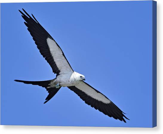 Swallow-tailed Kite Canvas Print