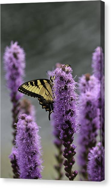 Swallowtail 0003 Canvas Print