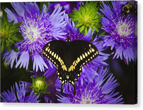 Swallowtail And Astor Canvas Print