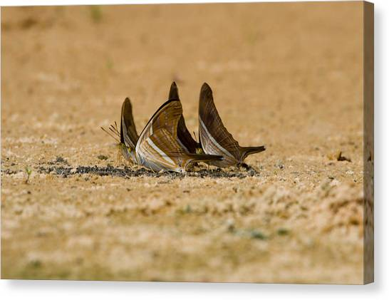 The Pantanal Canvas Print - Swallowtail Butterflies In A Field by Panoramic Images
