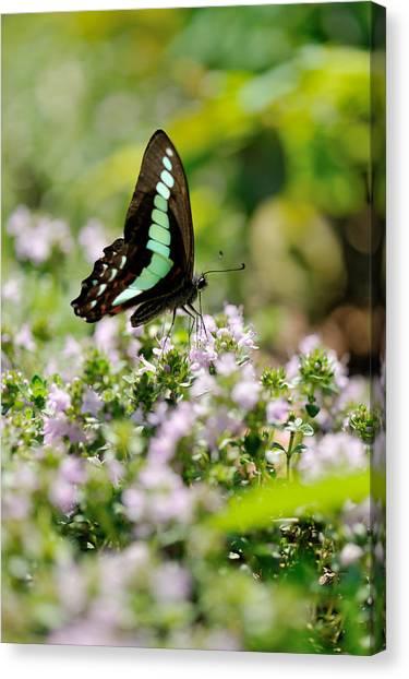 Swallowtail Butterflygraphium Sarpedon Canvas Print by Myu-myu